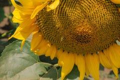 Orange sunflower flower. Bright yellow, orange sunflower flower on sunflower field Royalty Free Stock Photography