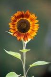 Orange Sunflower Royalty Free Stock Photo