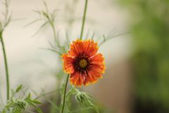 Orange sunflower. Flower sunshine garden Royalty Free Stock Photo
