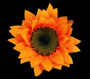 Orange sunflower isolated on black background - cutout flower stock photos