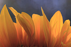 Orange sunflower petals Stock Images