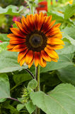 Orange sunflower plant blooming with leaves Stock Photos