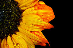 Orange sunflower with raindrops Stock Images