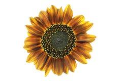 Orange sunflower Stock Photo