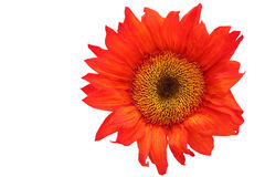 Orange sunflower on white background. Orange sunflower isolated against a white background Royalty Free Stock Images