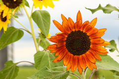 Orange Sunflower. An orange sunflower among yellow flowers royalty free stock photo