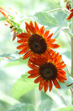 Orange sunflowers in bloom. Closeup of two colorful orange flowers in bloom with light, leafy green background Royalty Free Stock Image