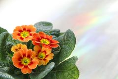 Orange sunny flower primula. Cozy lovely house. House gardening. Beautiful seasonal blossoming. Hobby and cosiness of the house royalty free stock image