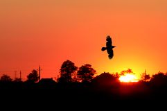 Orange sunrise. With a flying bird royalty free stock photography