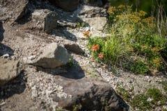 Orange sunrose. Flower Helianthemum known as rock rose, sunrose, rushrose, or frostweed Stock Images