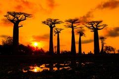 Orange sunset Baobabs Royalty Free Stock Photo