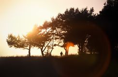 Orange sunset with black pines silhouette. A man rides a bicycle during sunset Royalty Free Stock Images