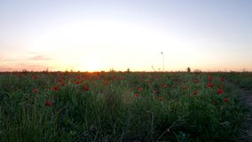 Orange sunset overlooking the red poppy fields. Red flowers at sunset. stock video