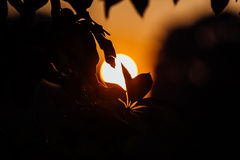 Orange sunset. The petals of the tree against the sun disc. Back stock image