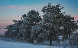 Orange sunset in winter forest Royalty Free Stock Image