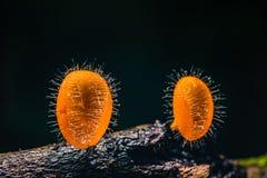 Orange svampkopp för champinjoner Fotografering för Bildbyråer