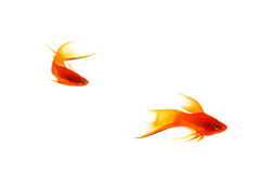 Orange Sword-tail Fish Royalty Free Stock Photos