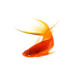 Orange Sword-tail Fish Royalty Free Stock Images