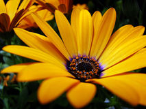 Orange Symphony. Close-up of Osteospermum Orange Symphony flower in the spring stock photo
