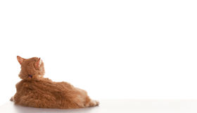 Free Orange Tabby Royalty Free Stock Images - 16624689