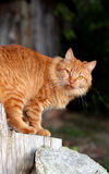 orange tabby Royaltyfria Bilder