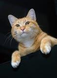 Orange Tabby Stockfoto