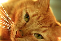 Orange tabby cat Stock Image