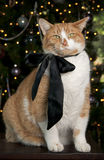 Orange Tabby Cat. Large orange tabby cat with a black satin bow sitting in front of the Christmas Tree Stock Images