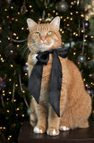 Orange Tabby Cat. Portrait with a black satin bow sitting in front of the Christmas Tree Stock Photo