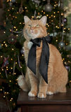 Orange Tabby Cat. Portrait with a black satin bow sitting in front of the Christmas Tree Royalty Free Stock Images