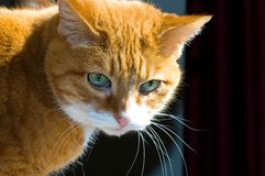 Orange Tabby Cat. A close up portrait of a mature, orange tabby cat with big, green eyes in bright sunlight Royalty Free Stock Image