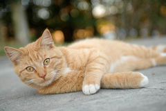 Orange Tabby Cat. Laying on ground outside looking at camera Royalty Free Stock Photography