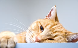 Orange Tabby Cat. A little orange tabby cat, awakened from his nap, looking at the camera Royalty Free Stock Image