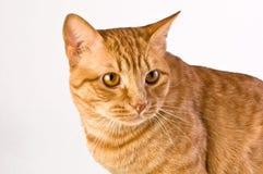 Orange tabby cat. Handsome orange tabby cat shot against a neutral background Stock Images