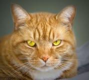 Orange tabby cat. Close up head shot of an orange colored tabby cat Stock Photo