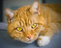 Orange tabby cat. Orange colored tabby cat laying on the edge of a bed Royalty Free Stock Photos