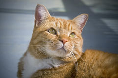 Orange tabby cat. Close up of orange colored tabby cat Stock Photography