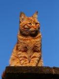 Orange tabby cat Stock Photos