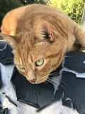 Orange tabby cat Royalty Free Stock Photography