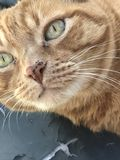 Orange tabby cat Stock Image