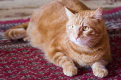 Orange tabby cat. With big brown eyes Royalty Free Stock Photo