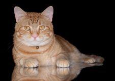Orange tabby cat on black royalty free stock images