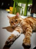 Orange Tabby Cat. Close image on orange tabby cat lay on the floor Royalty Free Stock Photos