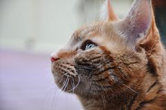 Orange tabby cat close up. Royalty Free Stock Photo