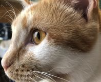 Orange tabby cat. Close up portrait of my orange tabby cat Royalty Free Stock Images