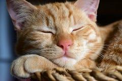 Orange tabby cat Stock Photography