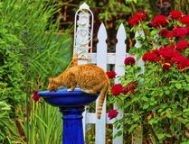 Orange Tabby Cat drinking from a blue bird bath. Orange tabby cat drinking out of the bird bath in a garden with white picket fence, red roses and lush plants Royalty Free Stock Photos