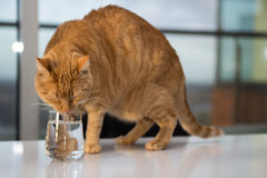 Orange tabby cat drinking water. Out of a glass Royalty Free Stock Images