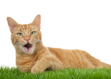Orange tabby cat on grass isolated, mouth open talking Royalty Free Stock Photo
