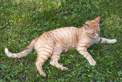 Orange tabby cat on the grass Stock Images